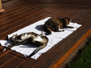 My boys, Bennett (on his back) and Alex love to soak up the sun.  Add a bit of catnip and they're in kitty nirvana!  :-)